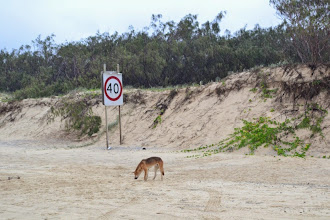 Photo: Dingo at the Fraser Island's highway