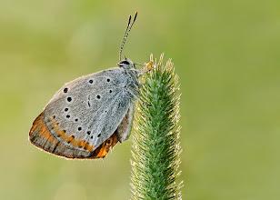Photo: Lycaena Dispar, Cuivré Des Marais, Large Copper, Manto grande, Großer Feuerfalter, Червонец непарный  http://lepidoptera-butterflies.blogspot.com/
