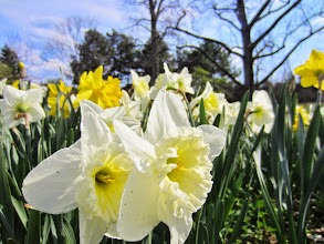 Photo: Daffodils in front of bare trees at Cox Arboretum and Gardens Metropark in Dayton, Ohio.