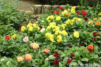 Photo: 拍攝地點: 梅峰-溫帶花卉區 拍攝植物: 大理花 拍攝日期: 2015_07_29_FY