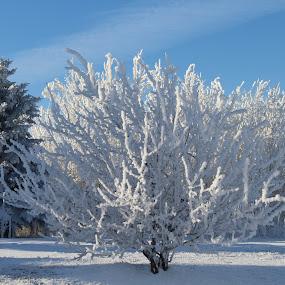Frosted White by Rose McAllister - Uncategorized All Uncategorized ( winter, nature, frost, trees, landscape,  )