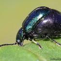 Green Dock Beetle (gravid)