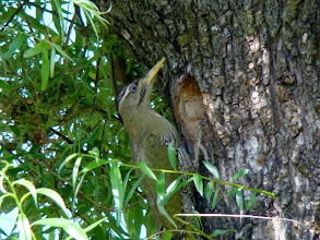 Photo: Our resident Green bellied female woodpecker