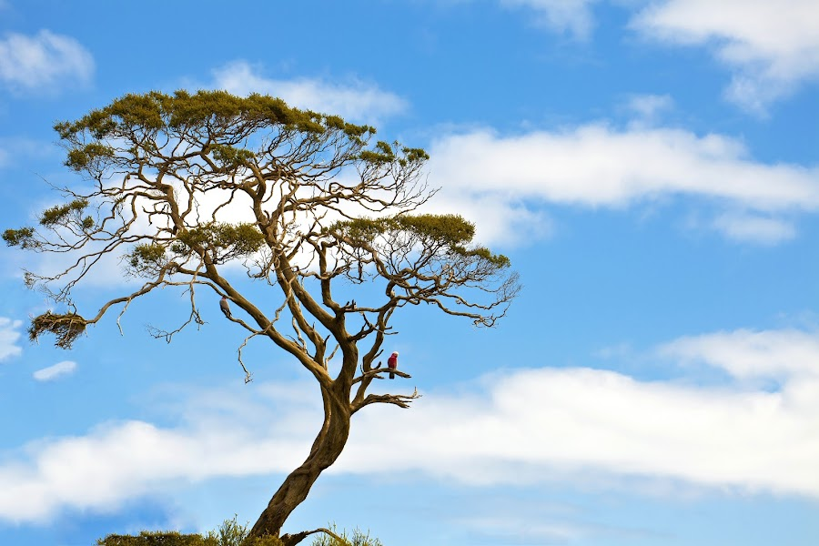 Lone tree by Janette Anderson - Nature Up Close Trees & Bushes ( clouds, twisted tree, blue sky, tree, galah in tree, blue, white clouds, galah )