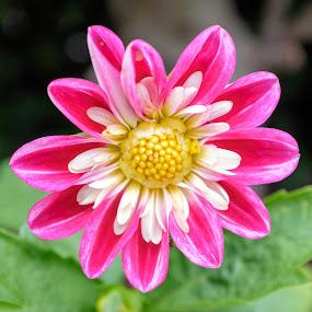 Flower by Jordan Crick - Flowers Single Flower ( canada, location, camera, plants, fuji x100t, vancouver, spring, time, category, nature, season, public, bc, flower )