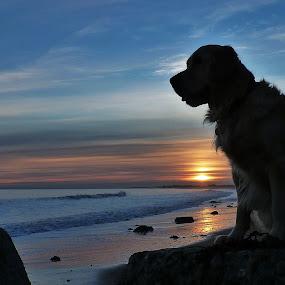 Beach Boy by Brian Wilson - Animals - Dogs Portraits ( water, nikon. d3200, sand, retriever, waves, silhouette, sea, ocean, beach, beauty, seascape, landscape, posing, playing, winter, cold, sunset, golde, sunrise )