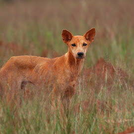 Dog in the field! by Biswarup Mandal - Animals - Dogs Portraits ( love, standing, portrait, dog, eyes, look, photography, wildlife )