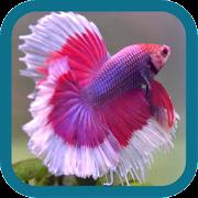 Betta Fish Beauty