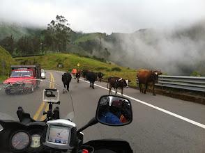 Photo: Some bulls hog the road.