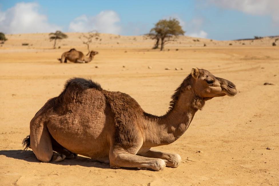 wielbłąd, Oman