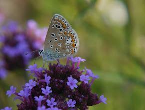 Photo: Icarusblauwtje