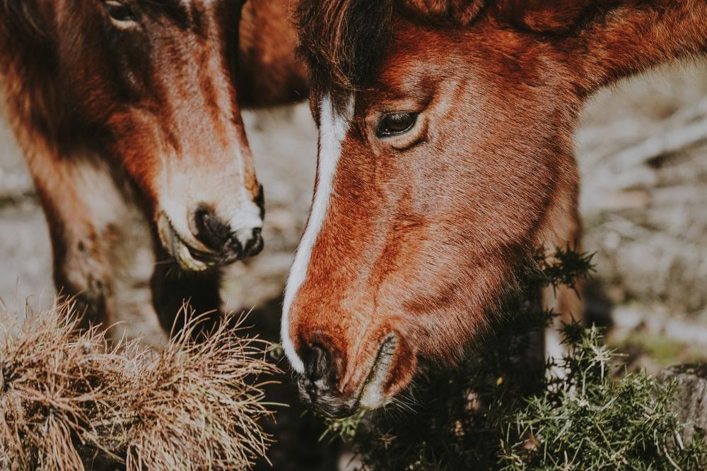 close-up photography of two red horses eating grasses
