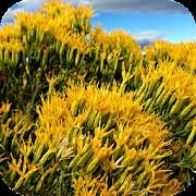 Sagebrush Flowers Wallpapers