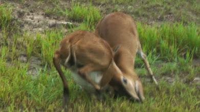 Photo: Duiker fight; Luta de bambis.