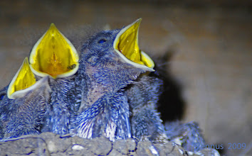 Photo: frisch geschlüpfte Schwalben haben Hunger