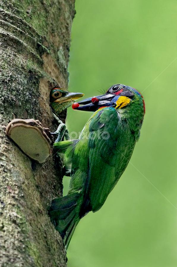 Red Crowned Barbet by Ken Goh - Animals Birds