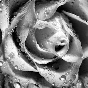 Rose by Renee LaFlesh - Black & White Flowers & Plants (  )