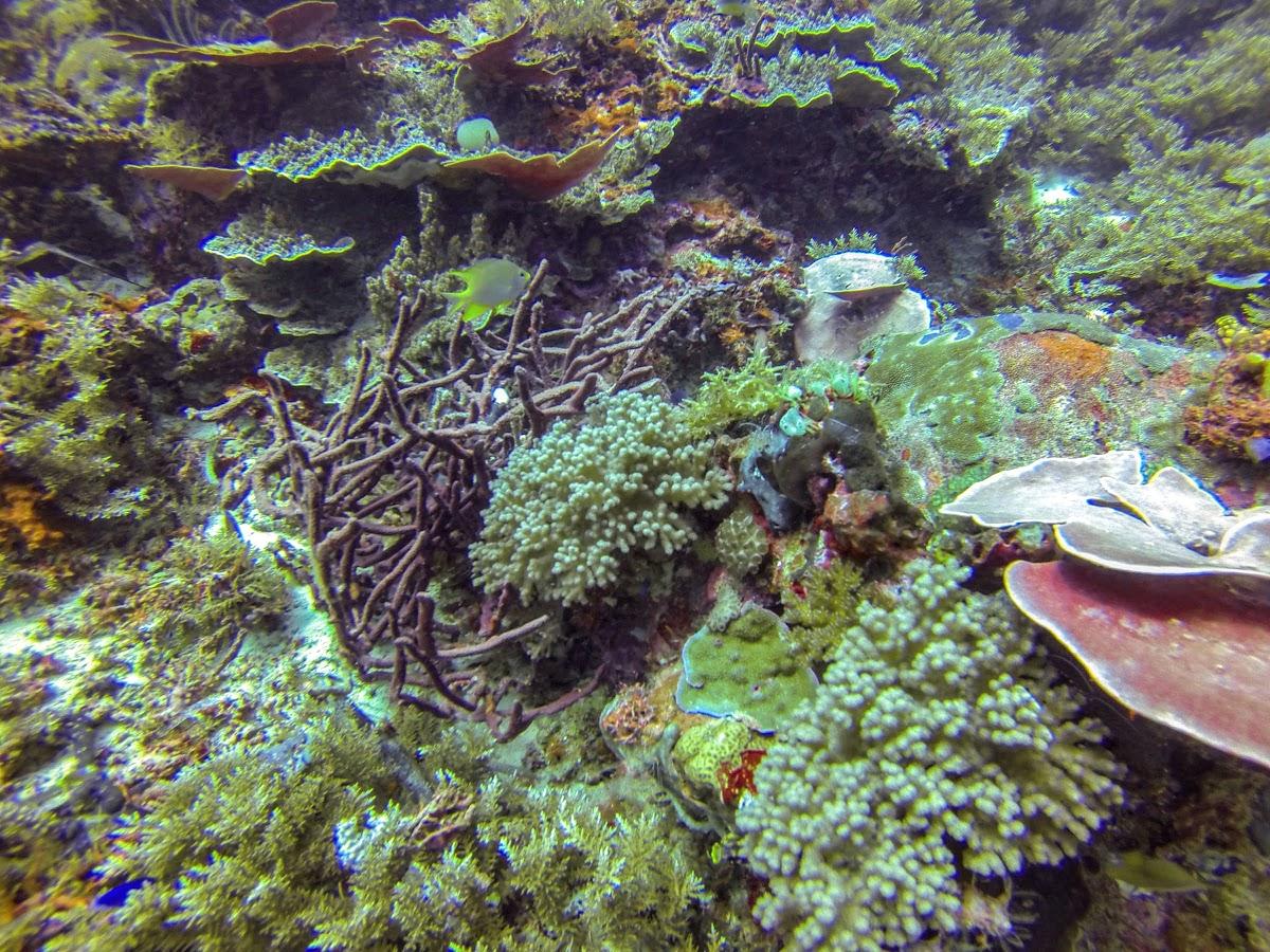 Retour au début. Dive Sites, île de Kri, Raja Ampat, Papouasie. Diversité corallienne