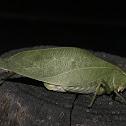 Greater Angle-winged Katydid female