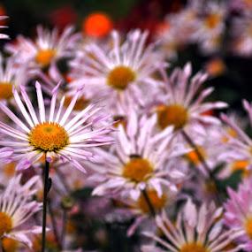 Flowers by Sanjib Laha - Flowers Flower Gardens