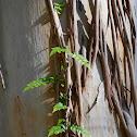 Pandorea sp. climbing vine