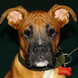 Frank by Chrissie Barrow - Animals - Dogs Portraits ( tan, boxer, ears, black, portrait, dog, pet )