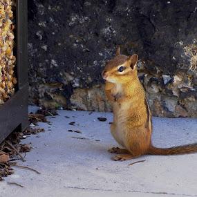 Chipmunk Visit by Dyane Kirkland - Animals Other Mammals ( grinny squirrel, chipmunk, ground squirrel, cute, rodent )