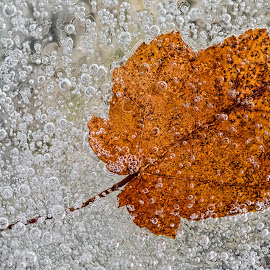 Leaf Frozen in Ice by Carl Albro - Nature Up Close Leaves & Grasses ( macro, closeup, ice, leaf )