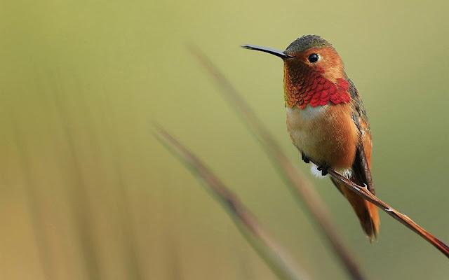 Hummingbirds - New Tab in HD
