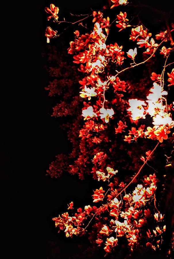 Magnolia di MarcoGiacomin