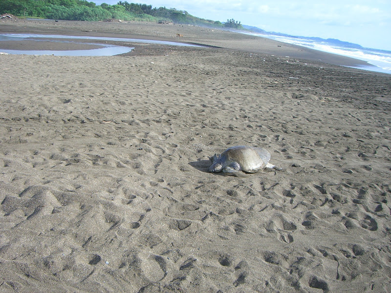 Photo: Olive Ridley Turtle crawling to nest site
