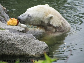 Photo: Wohl nicht, also macht sich Knut ueber den Kuerbis her ;-)