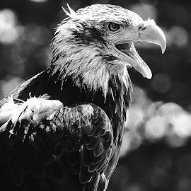 Le cri de l'aigle by Gérard CHATENET - Black & White Animals
