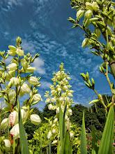 Photo: Palmlilie, Naturgarten Düsseldorf Lohausen