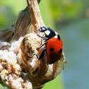 seven-spotted ladybug