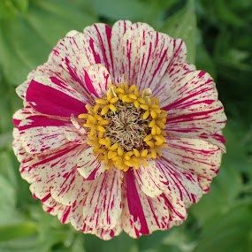 stars and stripes by Deborah Murray - Flowers Single Flower ( zinnia, single flower, green, white, pink, yellow, garden,  )
