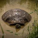 Western Santa Cruz Giant Tortoise