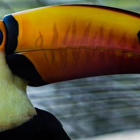 Toucan by Andy Goo - Novices Only Wildlife ( bird, orange, red, blue, beautiful, beak, white, toucan, beauty, black, eye )