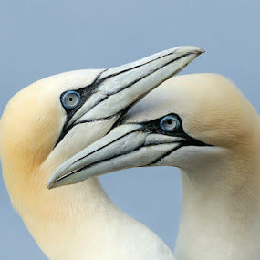 Totally in Love by Harry Eggens - Animals Birds ( squabbling, scotland, proframe, pairs, pair, nikkor, image, morus bassanus, space, photo, birds, bass rock, bird, firth of forth, two, gannet, beak, beaks, squabble, harry eggens, four, northern gannets, nikon, piture )
