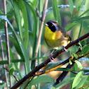 Common Yellowthoat (male)