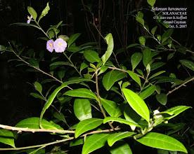 Photo: Havana Solanum - Solanum havanense (flowers fade to white), SOLANACEAE. Shrub, rocky woodlands, Grand Cayman, Cuba, Jamaica and Hispaniola. Flora of the Cayman Islands by George R. Proctor, 2012, p.535 Photo taken on the Mastic Trail, Grand Cayman, P. Ann van B. Stafford, Oct. 5, 2007