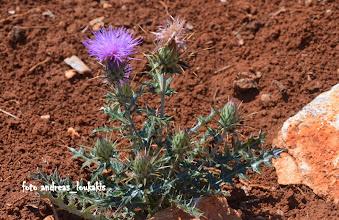 Photo: centaurea calcitrapa (compositae) ΕΞΩ ΛΑΚΩΝΙΑ  ΚΕΝΤΑΥΡΙΑ Η ΠΕΔΙΛΟΠΑΓΙΣ.Στην Ελλάδα συναντάμε 71 είδη κενταύριας και το συγκεκριμένο είναι γνωστό μέ τό όνομα «Καλακάνθι».Τό συναντούμε σέ άγονους ακαλ λιέργητους τόπους.Είναι διετές φυτό που Φθάνει σέ υψος τά 60 έκ. καί είναι πολύκλαδο.Τά φύλλα του είναι πράσινα, χνουδωτά & σχιστά. Τό άνθος του έχει αγκάθια,κοκκινωπά πολύ χαρακτηριστικά του φυτού αύτου.'Εχει Θεραπευτικές ιδιότητες και είναι τονωτικό και άνθελμινθικό.Γεγονός είναι ότι το όνομα του γένους, Κενταύρια, έχει τις ρίζες του στην ελληνική μυθολογία. Λέγεται ότι αυτό το είδος λουλουδιού πήρε το όνομα του απότον σοφό Κένταυρο Χείρωνα, δάσκαλο του Ασκληπιού,του Αχιλλέα, του Ιάσονα αλλά και του Απόλλωνα. Στην τιτανομαχία ο Χείρωνας ήταν με το μέρος του Ηρακλής στη μάχη του εναντίον των κενταύρων. Ο Ηρακλής όμως τον πλήγωσε κατά λάθος στο πόδι με ένα βέλος ποτισμένο στο δηλητήριο της Λερναίας Ύδρας. Ο Χείρωνας τότε χρη- σιμοποίησε το φυτό της κενταύριας σαν βότανο για να γιατρέψει την πληγή του.