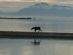 Photo: Moose