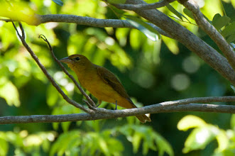 Photo: Summer Tanager (Sommertangare); Bacalar, QROO