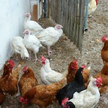 Photo: Hühner und Puten am Rettenbachgut in Werfen