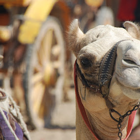 Egyptian Camel by Azzah Rahman - Animals Other Mammals ( camel, desert, giza, pyramid, egypt )
