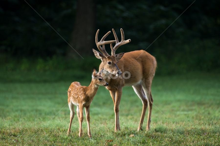 Father Knows Best by Andrea Silies - Animals Other Mammals ( 2017, spots, valley park, park, saint louis, wildlife, missouri, nature, a. silies photography, nikon d610, outdoors, summer, andrea silies, nikkor 200-500mm, st. louis, fawn, baby, lone elk park, outside, deer, animal )