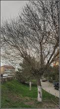 Photo: Artar American (Acer negundo) - Calea Victoriei, alee Mr.1- 2018.04.05