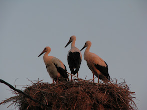 Photo: Storks in Gorski Izvor.