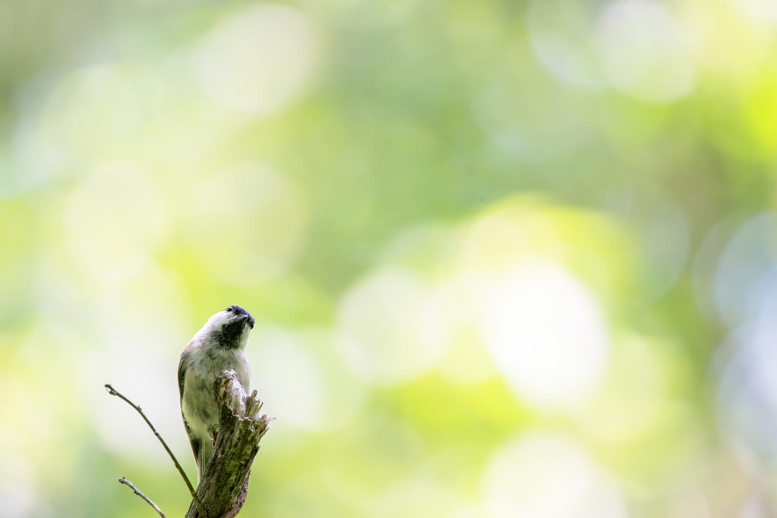 Photo: ちいさな不思議 Tiny wonder.  おおきな森の ちいさな小鳥 考えて考えて 疑問はどんどん おおきく膨らむ  Willow tit. (コガラ)  #birdphotography #birds #cooljapan #kawaii #nikon #sigma  Nikon D800E SIGMA 150-600mm F5-6.3 DG OS HSM Contemporary